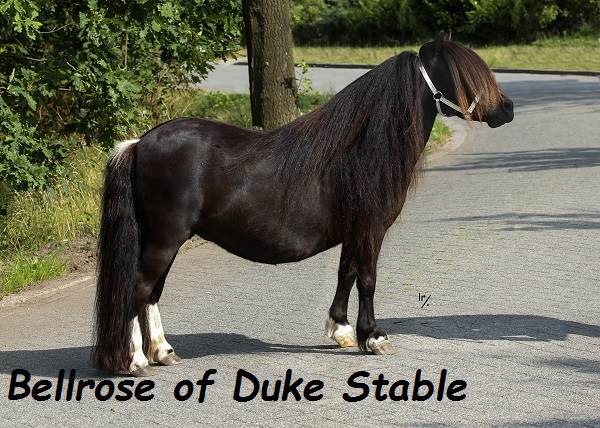 Bellrose of Duke Stable